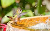 stock photo of dancing rain  - Rufous Hummingbird bathing  - JPG