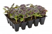 image of geranium  - Geranium plug plants in seed tray ready for planting out - JPG