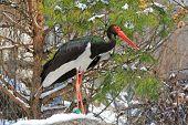 Black Stork, Schwarzstorch (Ciconia nigra) during the winter time