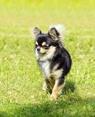 image of black tail deer  - A small young beautiful black and tan cream long coated Chihuahua standing on the lawn. Chihuahua dogs are the smallest in size.