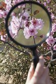 Close up of hand holding magnifying glass over cherry blossom