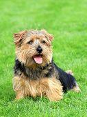 Norfolk Terrier On A Green Grass Lawn
