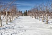 picture of blanket snow  - Snow blankets a rural apple orchards in the depths of winter - JPG