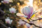 Magnolia Flowers On A Blury Backlit Background