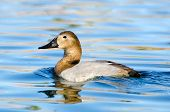 image of duck pond  - Female Canvasback Duck swimming in a pond - JPG
