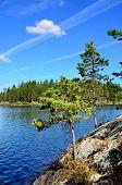 Karelian Pine. Lake Engozero, North Karelia, Russia