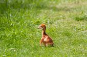 Sandhill Crane Baby Chick