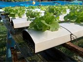 Green Cos In Hydroponic Farm.
