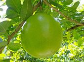 foto of calabash  - Bottle gourd on the tree  - JPG