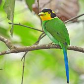 Long-tailed Broadbill Bird