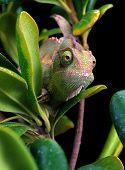 Chameleon.
