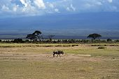 stock photo of wildebeest  - African Wildebeest in Amboseli National Park  - JPG