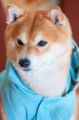 Portrait Of Shiba Inu Dog With Blue Jacket