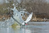 Caspian Tern Emerging From A Splash After Impact