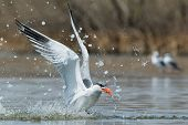 Caspian Tern Resurfacing With A Fish After A Successful Dive