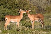 Two Impalas Sharing A Secret