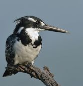 Pied kingfisher profile