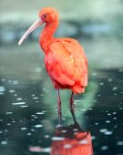 scarlet ibis standing in water with reflection