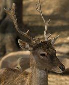 image of cervus elaphus  - Young Iberian red deer head portrait detail - JPG