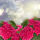 hortensia flowers in garden
