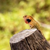picture of lizard skin  - Brown lizard - JPG