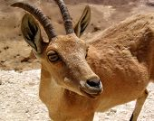 Nubian Ibex At Makhtesh Ramon (crater)
