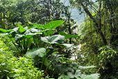 Giant taro plant in lush jungle, Batad, Philippines