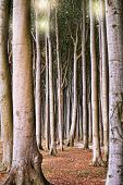 Deciduous forest with large trees and clean tree trunks