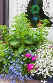picture of lobelia  - Window box with blue edging lobelia and butterfly stone crop plants - JPG