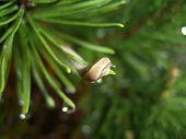 Slug On Pine Tree