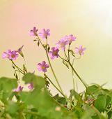 oxalis corniculata flowers