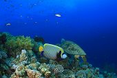 stock photo of angelfish  - Coral Reef with Emperor Angelfish and Turtle - JPG