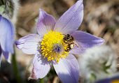 Little Bee Pollinates The Pulsatilla Flower