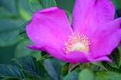 big beautiful pink flower wild rose