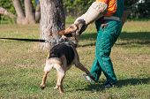 German Shepherd Dog Attacking On The Dog Training Course