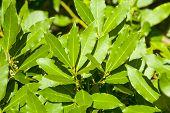 Laurel tree leaves, aromatic spice.