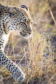 Close up of leopard in Serengeti