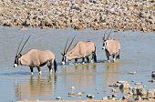 Oryx In Water