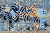 Zebras Drinking Water At Sunset, Okaukeujo Waterhole