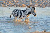 Zebra In Water At Sunset, Okaukeujo Waterhole