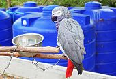 image of parrots  - The African Grey Parrot  - JPG
