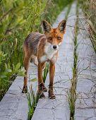 Fox looking into camera