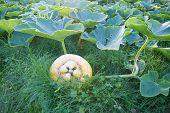 Pumpkin Cucurbita  In Grass