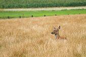 Female Doe Red Deer Hiding In The Long Grass