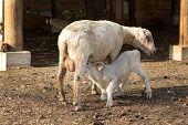 Lamb Suckling Milk