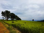 Grassland And Big Trees On The Hill In Khao Yai