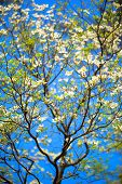 pic of dogwood  - White flowering dogwood tree (Cornus florida) in bloom in blue sky