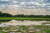 Brazilian Panantal skyline with Victoria Regia plants in water