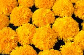 Tagetes Erecta L Or  Marigold Beautiful Flower