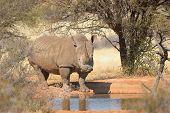 White Rhino At Waterhole